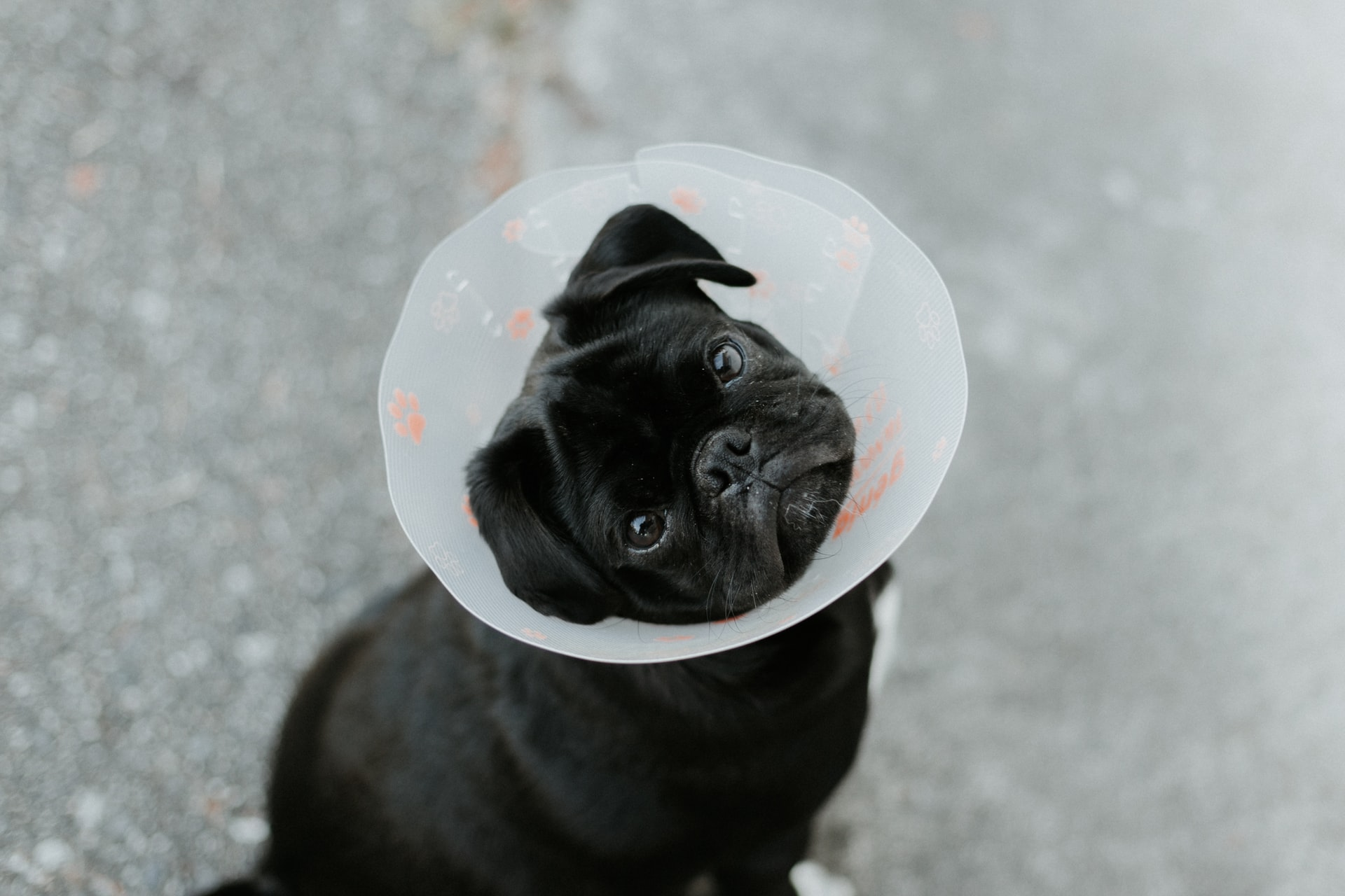 Veterinary - Dog with cone
